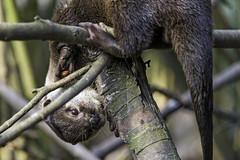 Funny otter in the tree (Tambako the Jaguar) Tags: portrait tree cute fun zoo switzerland bush nikon funny branch farm posing otter bern potrait d4 johnskleinefarm