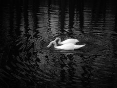 Curves. (noinchi) Tags: light bw white lake black tree art nature water contrast reflections dark spring noiretblanc curves swans fujifilm conceptual