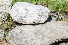 Adder - Viper berus (Matchman Devon) Tags: male cove south devon viper adder hams berus ringmore ayrmer