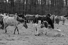 Wild Horses in black-and-white - Foal - 2016-006_Web (berni.radke) Tags: horse pony herd nordrheinwestfalen colt wildhorses foal fohlen croy herde dlmen feralhorses wildpferdebahn merfelderbruch merfeld przewalskipferd wildpferde dlmenerwildpferd equusferus dlmenerpferd dlmenpony herzogvoncroy wildhorsetrack