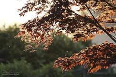 Happyness is Gone . . . (We're Born to Loose, But We Live to Win) Tags: sunset red tree primavera foglie backlight canon golden leaf spring tramonto albero 70200 luce goldenhour controluce happyness contrasto rosse tardo christopherholland dorata athlondj
