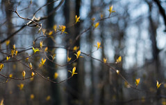 Beginnings (Captured Heart) Tags: leaves bokeh branches beginning budding springtime newlife