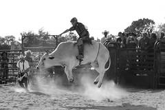 Gettin Air (Gator Andress) Tags: cowboy rope bull bullfighter cowboyhat chaps chute bullrider florencetx florencetexas