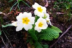 prim (springlovers) Tags: white plant flower nature colors spring natur blume frhling prim primrose frhblher priemel