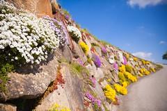 _MG_0508 (TobiasW.) Tags: austria blossom blossoms pear flowering blte niedersterreich obersterreich blten 2016 birnbaum upperaustria loweraustria mostviertel birnbaumblte weises moststrasse moststrase peartee