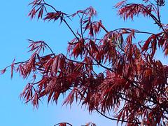 claret and blue (mark.griffin52) Tags: red england leaves garden spring buckinghamshire foliage japanesemaple acerpalmatum cheddington olympusem5
