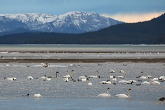 Swans for miles (Beard&Glasses) Tags: canada bird nature birds animal animals fauna canon landscape rebel swan wildlife north yukon swans migratory yt trumpeter 2016 northof60 tundraswan marshlake swanhaven explorecanada t6s exploreyukon
