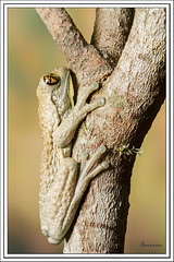Rana (J. Amorin) Tags: macro fauna frog rana canon10028macro macuspana amorin tabascomexico canon7d anfibiosyreptiles