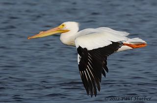 American White Pelican in flight (Pelecanus erythrorhynchos)