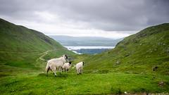 Cruachan sheep (Joe Dunckley) Tags: uk mountain animal landscape scotland highlands sheep farm argyll farming livestock farmanimal lochawe scottishhighlands bencruachan cruachandam cruichan