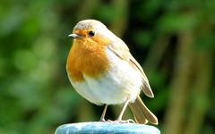 Rouge-gorge-002 (Raymonde Contensous) Tags: nature oiseaux rougegorge valdemarne parcdesceaux