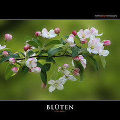 BLTEN (Matthias Besant) Tags: rosa grn weiss baum nahaufnahme frhling blten zoobasel matthiasbesant