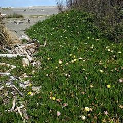 #succulent #flowers #beach #sand #ocean #driftwood #WestCoast #PacificOcean #California (Heath & the B.L.T. boys) Tags: ocean california flowers beach succulent sand driftwood pacificocean instagram
