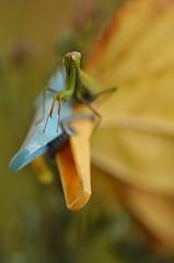 Se prendre pour une star... (isabellebienfait1) Tags: jaune mantis mante starlette religieuse religiosa pince sigma105 d5100