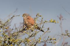 Kestrel (roger_forster) Tags: wild bird sitting westsussex harbour reserve raptor kestrel pagham falcotinnunculus rspb