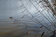 haiku (dick_pountain) Tags: london water reeds pond ripples parliamenthill wintersun