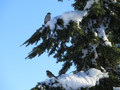 Gray Jays (Perisoreus canadensis) (misiekmintus) Tags: naturaleza bird nature birds vancouver america bc britishcolumbia natur birding aves pacificnorthwest birdwatching vogel ptaki greyjay perisoreuscanadensis seeninvancouver
