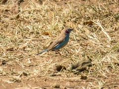 Red-Cheeked Cordonbleu (Makgobokgobo) Tags: africa bird uganda cordonblue apoka narus kidepo uraeginthus uraeginthusbengalus redcheekedcordonblue kidepovalleynationalpark narusvalley kvnp kidepovalley