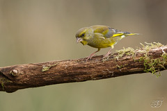 Verdier d'Europe (Tifaeris) Tags: bird oiseau carduelischloris europeangreenfinch verdierdeurope fringillidés passériformes