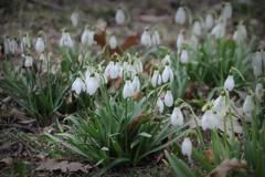 20130405 (zumakuma) Tags: flowers toronto flower nature spring snowdrop signofspring blipfoto
