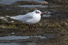 Mediterranean Gull (Bill Richmond) Tags: nikon mediterraneangull larusmelanocephalus yearround d810 newburnbridge