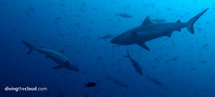 Grey reef sharks - tiburones gris (divingthecloud) Tags: sea fish pez animal shark mar diving maldives tiburon buceo maldivas fotosub bajoelagua greyreefshark tiburongris
