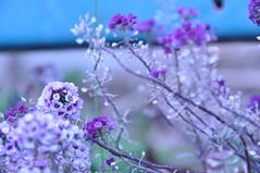 (YuUKi) Tags: flower weed nikon purple    d5000