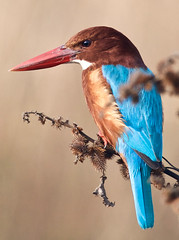 Kingfisher 1 (ashwin42) Tags: bird nature kingfisher