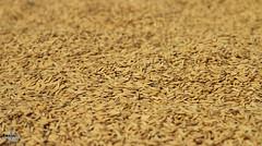Paddy the National food of Bangladesh (amrantex160) Tags: foot rice paddy bangladesh boilpaddy