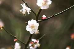 _MG_4326 (Tselun Chang) Tags: taiwan   plumflower