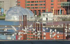 Birds in the city (mennomenno.) Tags: birds reflections puddle thenetherlands vogels meeuwen rotterdamzuid reflecties regenplas