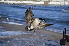 This is how you land (Kobie M-C Photography) Tags: lake ontario canada nature colors wings photographer durham pentax wildlife goose landing region oshawa k30
