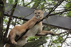 Neighborhood Watch (greekgal.esm) Tags: philadelphia feline bigcat puma cougar mountainlion philadelphiazoo phillyzoo bigcatfalls