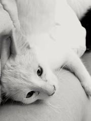 gatita2 (volantindebolsa) Tags: bw white blanco cat ojos gato gatita maosa acostado