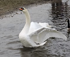 Swan (Deanne Wildsmith) Tags: