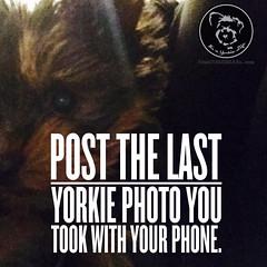 I wonder how many will (itsayorkielife) Tags: yorkie quote yorkshireterrier yorkiememe
