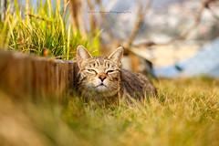 Tiggy (Andreas Gerber) Tags: cats cat canon eos andreas gatto gatti animali gerber giardino tiggy 50d mammiferi