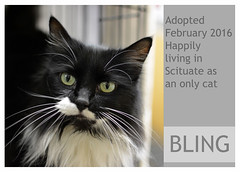 Bling-Adopted (Ali Crehan) Tags: cat february shelter adopted 2016