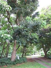 starr-120606-6895-Castanospermum_australe-flowering_habit_with_Kim-Kahanu_Gardens_Hana-Maui (Starr Environmental) Tags: castanospermumaustrale