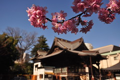plum blossoms in Tokyo (pantoniades) Tags: flowers japan temple tokyo spring plumblossoms d90