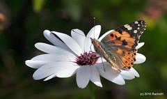 DSC_0128 (rachidH) Tags: flowers vanessa nature cosmopolitan blossoms egypt butterflies insects bee cairo papillon daisy blooms dame africandaisy cynthia paintedlady osteospermum vanessacardui blueeyeddaisy vanessedeschardons labelledame vanesse rachidh