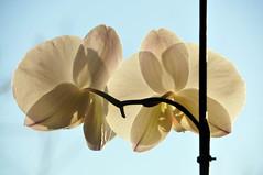 The orchind having sunbath (jeangrgoire_marin) Tags: sun sunlight white orchid flower zen delicate translucid