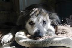 Amber-ghini (ucumari photography) Tags: dog animal mammal amber nc north canine greensboro carolina february 2016 ucumariphotography dsc9767