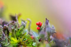 chrobotek koralkowy (kinga.lubawa) Tags: las colors forest canon moss tamron mech kolory kolorowe