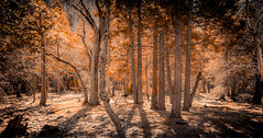 Golden Forest (Rohit KC Photography) Tags: from park old city trees nature forest canon landscape golden woods branch shadows natural edited branches dry sunny away national bark yosemite refreshing vignette canon24105mmf4l canon5dmarkii