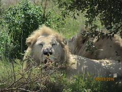 (lee_barrett007) Tags: park lion johannesburg lionpark