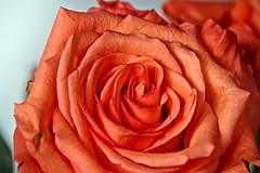 Spring (peterschneider608) Tags: flowers red plant flower rot nature rose munich mnchen bayern bavaria nikon d70 outdoor natur pflanze blume schleissheim drausen schleisheim darktable