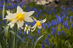 20160318  Daffodils and Grape Hyacinth 24x16x72 (Robert Harwood) Tags: flowers canada yellow spring britishcolumbia victoria daffodil hyacinth oakbay grapehyacinth
