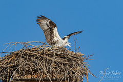 Osprey returns from Home Depot sequence - 19 of 27