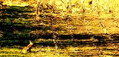 Illusive Animals - hare II (Henrik Bidstrup Jrgensen) Tags: animals landscape denmark hare mark natur olympus 510 danmark dyr e510 illusive hjeds illusiveanimals